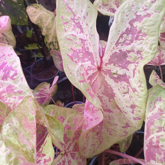 caladium-pink-beauty