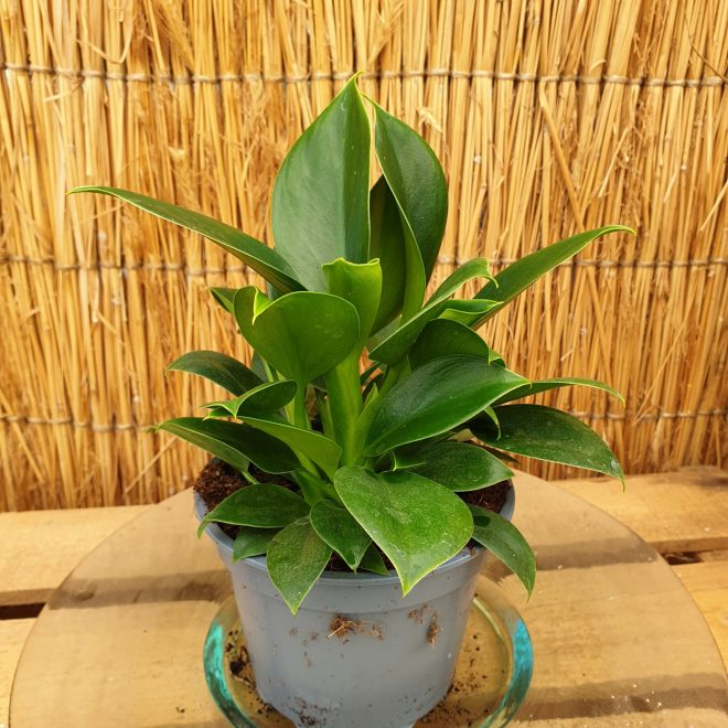 philodendron-green-princess