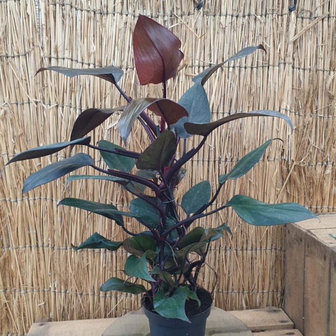 philodendron-new-red