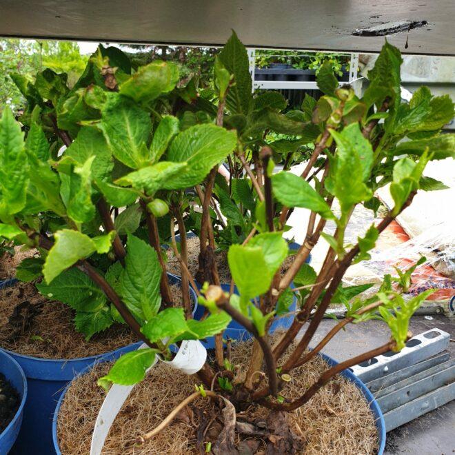 hydrangea-macr-the-original-busk