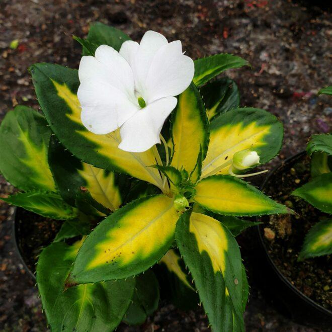 impatiens-sunpatiens-spreading-variegated-white