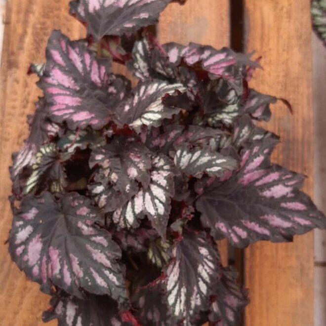 konge-begonia
