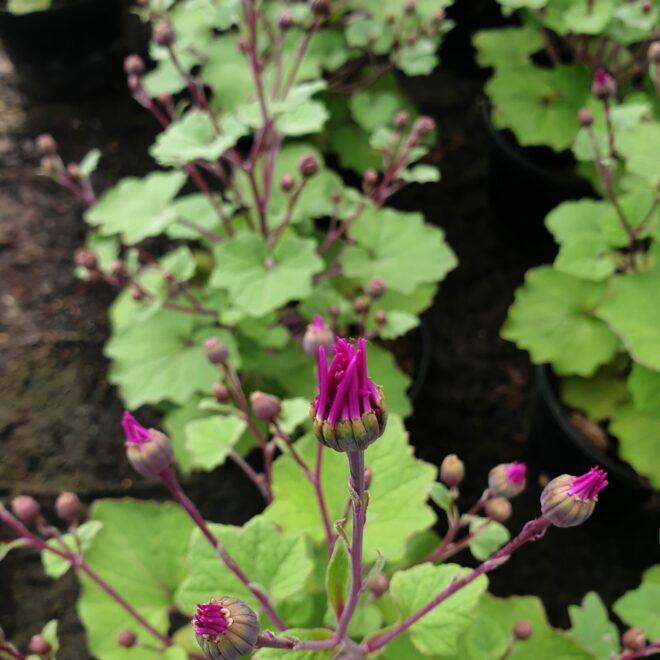 pericallis-hybrida-senetti-pink-bicolor