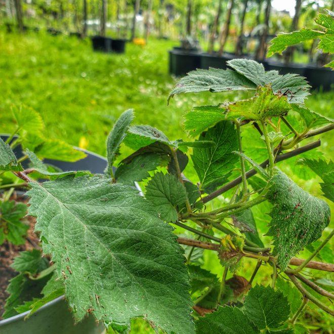 brombaerbusk-black-satin-tornfri-rubus-fruticosus-black-satin