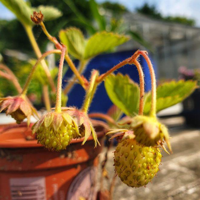 jordbaerplante-ostara-fragaria-x-ananassa-ostara