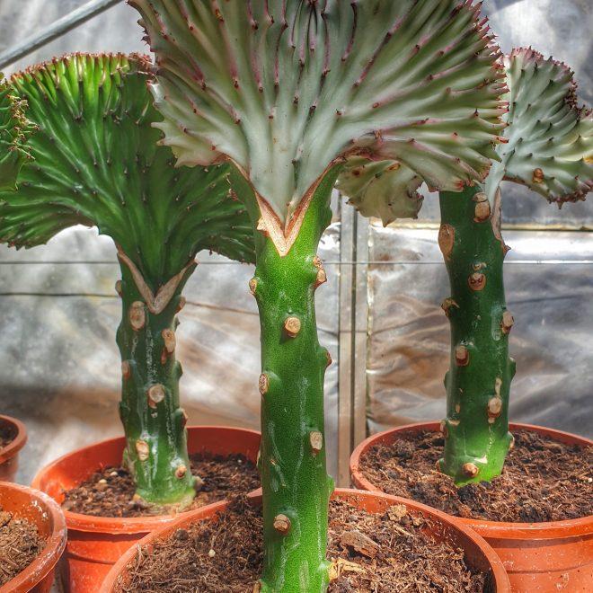 koralkaktus-euphorbia-lactea