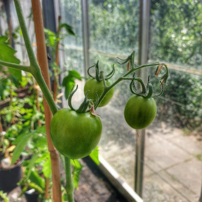 sparta-f1-tomat