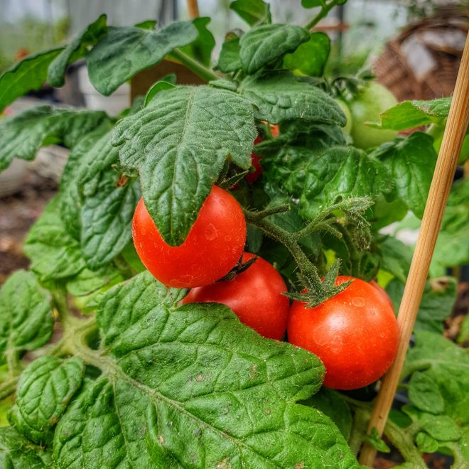 tomatplante-red-robin-busktomat-lycopersicon-esculentum-red-robin