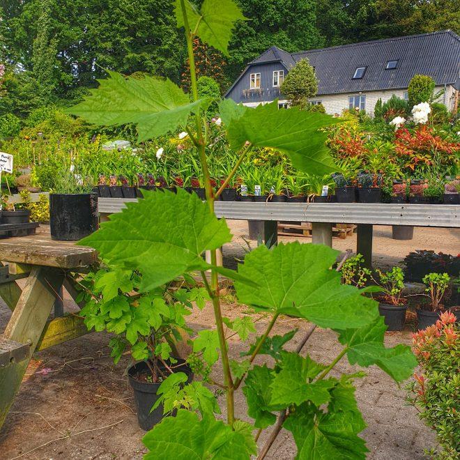 vindrueplante-don-muscat-vitis-vinifera-don-muscat