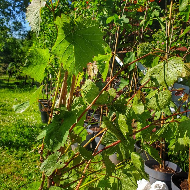 vindrueplante-reform-vitis-vinifera-reform