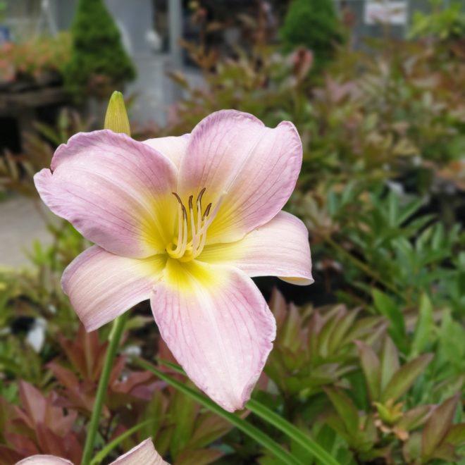 daglilje-hermerocallis-hybrid-catherine-woodbury