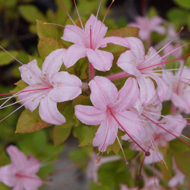 rhododendron-arborescens