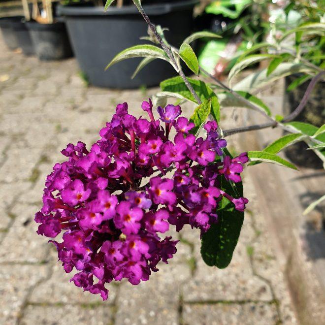 sommerfuglebusk-nanhoe-purple-buddleja-davidii-nanhoe-purple