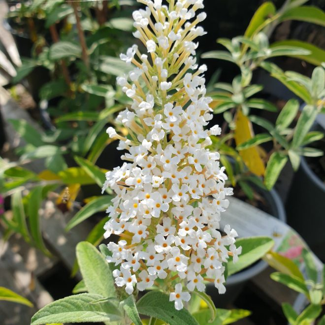 sommerfuglebusk-nanhoensis-alba-buddleja-davidii-nanhoensis-alba
