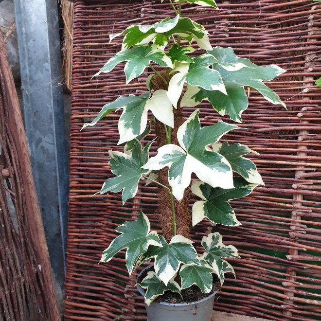 aralievedbend-broget-fatshedera-lizei-variegata