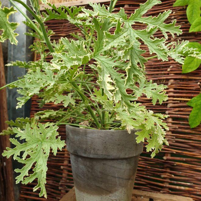 duft-pelargonie-lady-plymouth-pelargonium-graveolens-lady-plymouth
