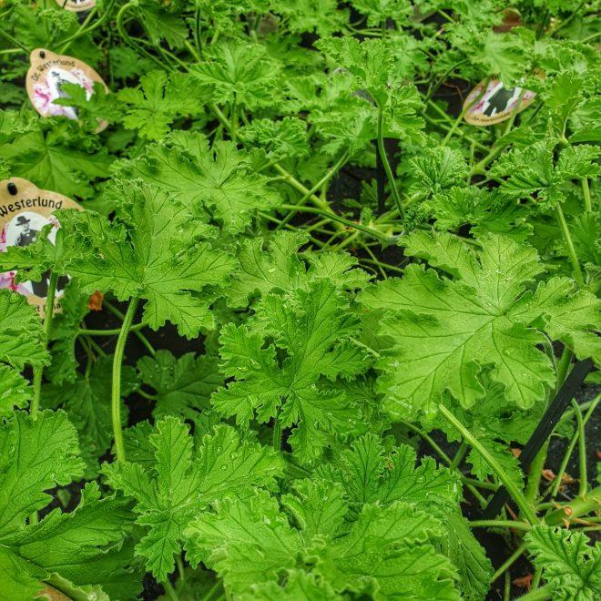 duft-pelargonie-pelargonium-graveolens
