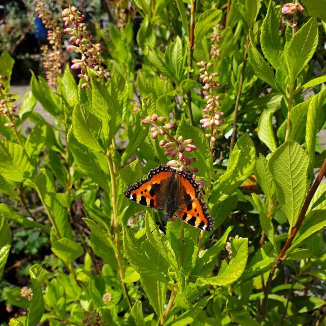 konvalbusk-clethra-alnifolia-ruby-spice