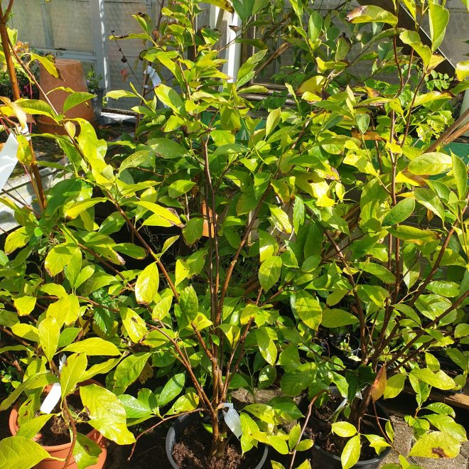magnolie-magnolia-soulangeana