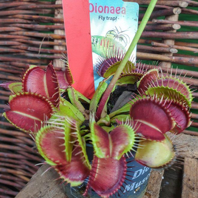 venus-fluefanger-dionaea-muscipula