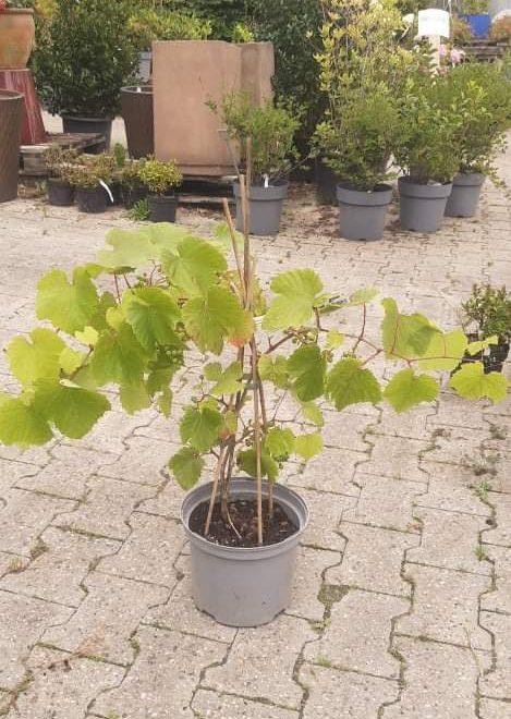 vindrueplante-rondo-vitis-vinifera-rondo