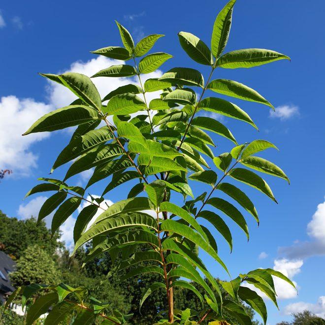 amurkorktrae-phellodendron-amurense