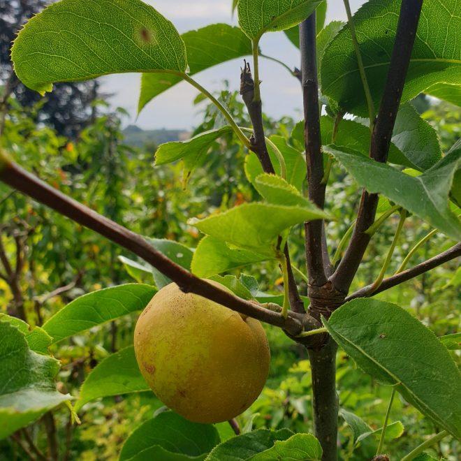 asiatisk-paeretrae-nijiseki-nashi-pyrus-pyrifolia-nijiseki-nashi