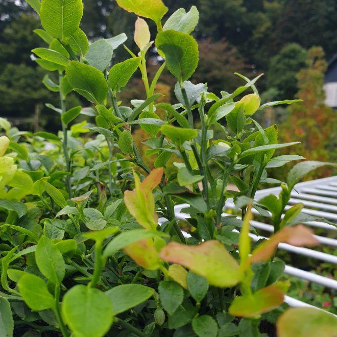 blaabaerbusk-vild-vaccinium-myrtillus