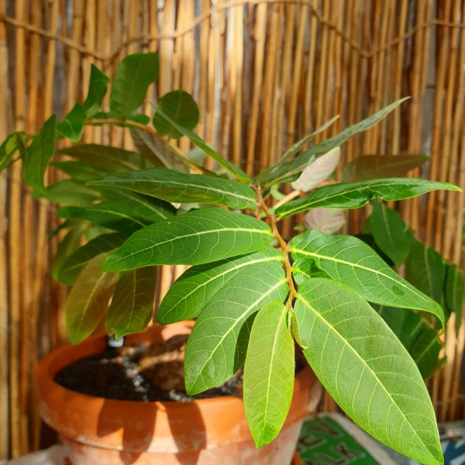 phyllanthus-mirabilis
