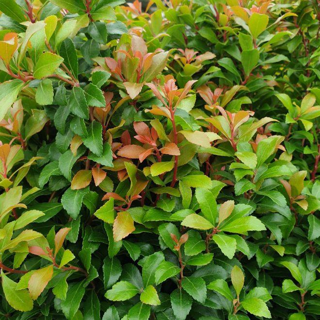 pieris-little-heath-green-pieris-japonica-little-heath-green