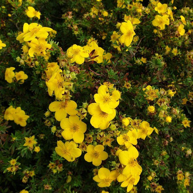 potentilla-fruticosa-goldfinger