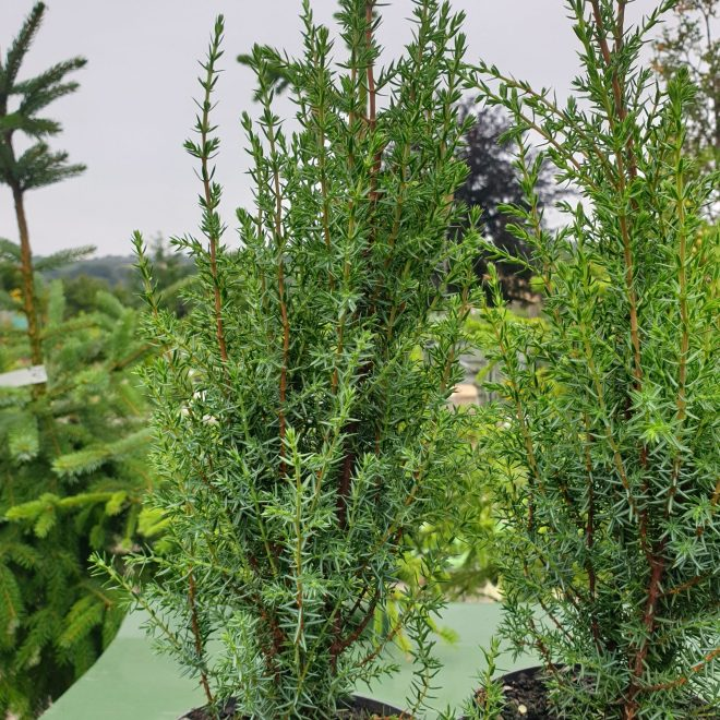 soejleene-juniperus-communis-arnold