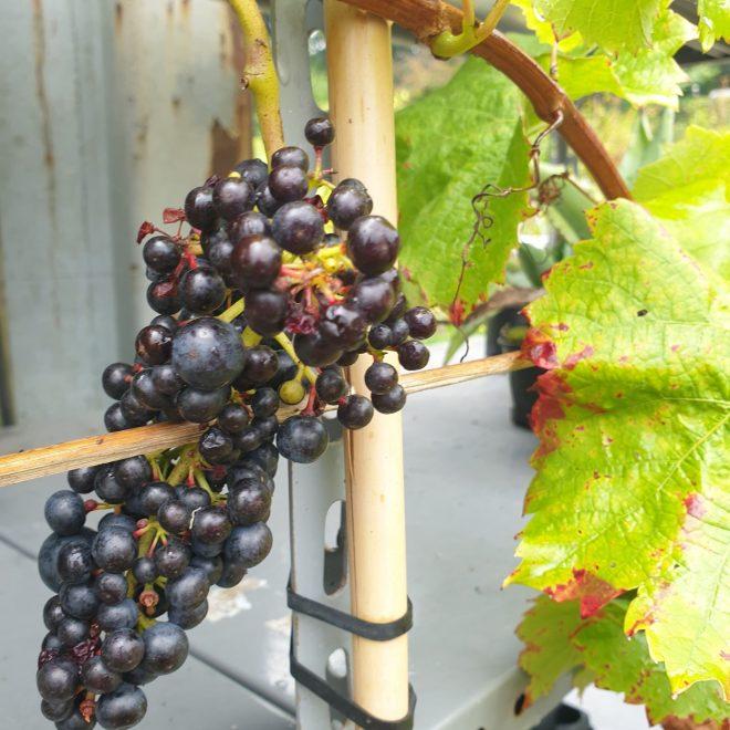 vindrueplante-nero-oekologisk-vitis-vinifera-nero