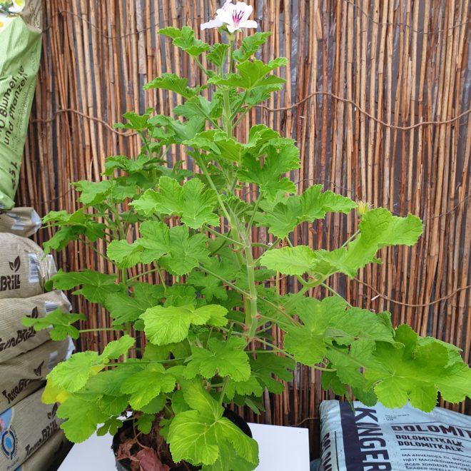 duft-pelargonie-attar-of-roses-pelargonium-capitatum-attar-of-roses